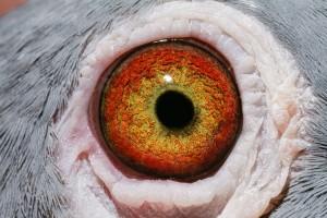 NL07-1260856_oog duivin