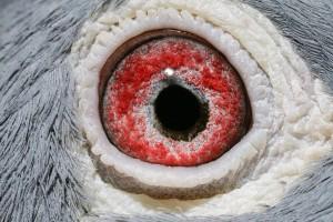 NL10-1076641_oog duivin