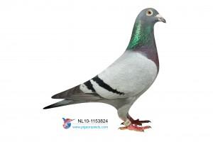 NL10-1153824 foto duivin