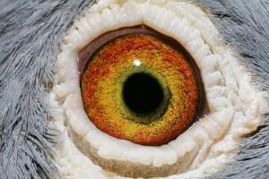 NL10-1669294_oog duivin