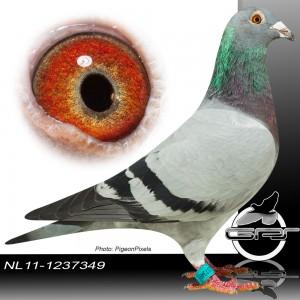 NL11-1237349 foto duivin