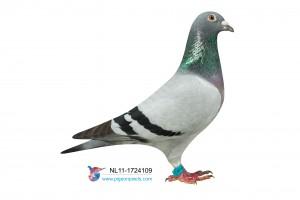 NL11-1724109 foto duivin