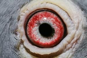 NL11-1724109_oog duivin