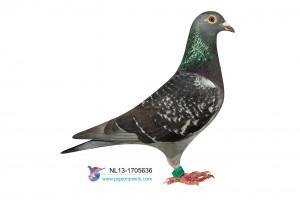 NL13-1705636 foto duivin