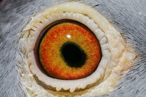 NL13-1705636_oog duivin