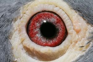 NL13-1705872_oog duivin